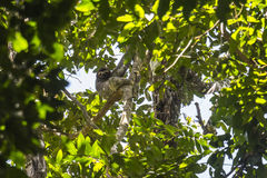 Sloth hanging in the trees Stock Image