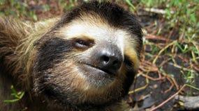 Sloth head. Head of a Three-toed sloth, Bradypus variegatus Royalty Free Stock Image