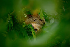 Sloth hidden in the dark green vegetation. Linnaeus's two-toed Sloth, Choloepus didactylus. Sloth hidden in the dark green vegetation. Linnaeus's two-toed Sloth Royalty Free Stock Image