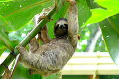Sloth i Costa Rica Arkivbild