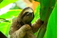 Sloth i Costa Rica Arkivbilder