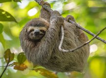 Free Sloth In Costa Rica Royalty Free Stock Photo - 131768245