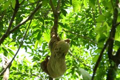 Sloth in the Jungle of Central America. A Sloth in the Jungle of Central America Royalty Free Stock Photos