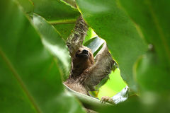 Sloth in the Jungle of Central America. A Sloth in the Jungle of Central America Stock Images