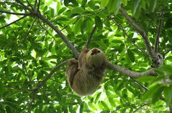 Sloth in the Jungle of Central America. A Sloth in the Jungle of Central America Stock Photos