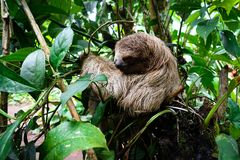 Sloth in the jungle of Costa Rica. Sloth climbing a tree in the jungle at Bijagua, Costa Rica, at the Tenorio national park Royalty Free Stock Images