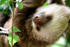 Sloth in the jungle of Costa Rica. Sloth hanging in a tree in the jungle in Costa Rica Royalty Free Stock Photos