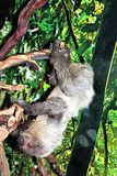 Sloth. Large gray Sloth hanging from a tree limb Stock Photography