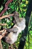 Sloth Stock Photography