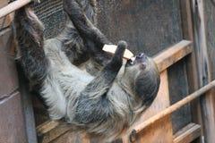 Sloth long clawed eating (Choloepus hoffmanni) on building. Sloth long clawed eating claws showing (Choloepus hoffmanni Royalty Free Stock Photo