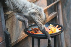 Sloth long clawed eating (Choloepus hoffmanni). Sloth long clawed eating claws showing (Choloepus hoffmanni Royalty Free Stock Photos