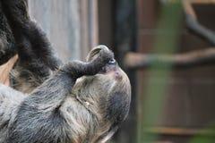 Sloth long clawed eating (Choloepus hoffmanni). Sloth long clawed eating claws showing (Choloepus hoffmanni Stock Photo