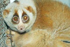 Sloth monkey Stock Images