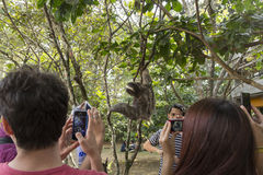 Sloth near peolple. Sloth near people in Costa Rica Stock Photography