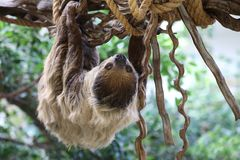 Sloth. A Pale throated sloth in green Royalty Free Stock Image