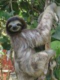 Sloth, perezoso faultier royalty free stock photo