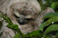 Sloth portrait. Three-toed sloth on a tree (Henri Pittier National Park, Venezuela Stock Photography