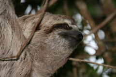 Sloth portrait 2. Three-toed sloth on a tree (Henri Pittier National Park, Venezuela Royalty Free Stock Image