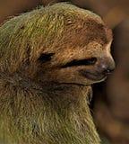 Sloth portrait in Manuel Antonio National Park. stock photo