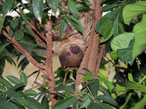 Sloth. Portrait of a Sloth in the trees Stock Image