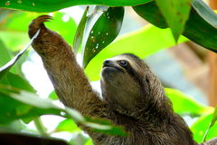 Sloth in Puerto Viejo, Costa Rica Royalty Free Stock Photos