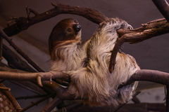 Sloth resting. On the branch in the zoo Stock Photo