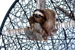 Sloth Sanctuary in Costa Rica. Three-toed sloth sanctuary in Costa Rica, Central America stock photos