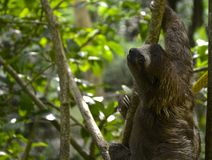 Sloth Searching For Food. Sloth slowly climbing tree in search of food and nice resting space Stock Images