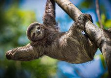 Sloth smiling at you. A sloth just staring and smiling at me royalty free stock photos