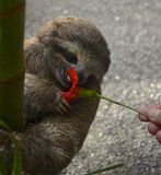 Sloth Sticking Tongue Out. Baby sloth tasting hibiscus flower Royalty Free Stock Images