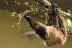 sloth sydliga toed två Fotografering för Bildbyråer