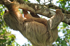 Sloth,three toe adult mother with baby, costa rica. Three toe sloth adult mother with baby, costa rica, central america Stock Images