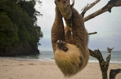Sloth. Three toe male juvenile hanging in tree in tropical rainforest jungle, cahuita, costa rica, central america. latina countries call them osos perezosos Stock Images