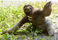 Sloth. Three-toed sloth sitting on ground Royalty Free Stock Photo