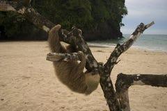 Sloth Arkivbild