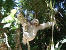 sloth tre toes Royaltyfri Bild