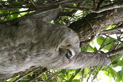 Sloth on a tree Stock Photo