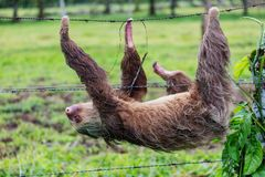 Sloth. The sloth on the tree in Costa Rica, Central America stock photo