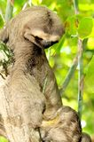 Sloth on a tree looking at claw. A three-toed sloth, or Bradypus variegatus looks at its claw while sitting in a tree Royalty Free Stock Photos