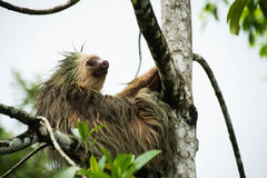 Sloth in a Tree. A sloth sitting, being lazy in a tree Stock Photos