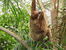 Sloth in a tree.  Royalty Free Stock Image