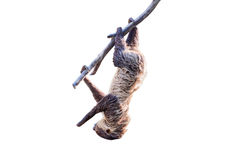 Sloth in a tree on white background. Sloth in a tree isolated on white background with clipping path Royalty Free Stock Image