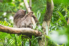 Sloth. On a tree in zoo Stock Images