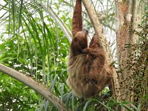 Sloth in a tree.  Royalty Free Stock Photography