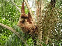 Sloth in a tree.  Royalty Free Stock Photos