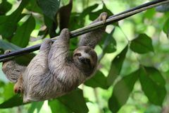 Young Sloth hanging on a cable. royalty free stock photo