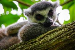 A sloth at the zoo Royalty Free Stock Photo
