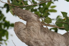 Sloth2 Stockbild