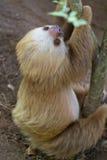slothen toed två Arkivfoto