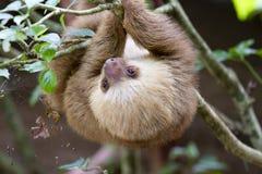slothen toed två Fotografering för Bildbyråer